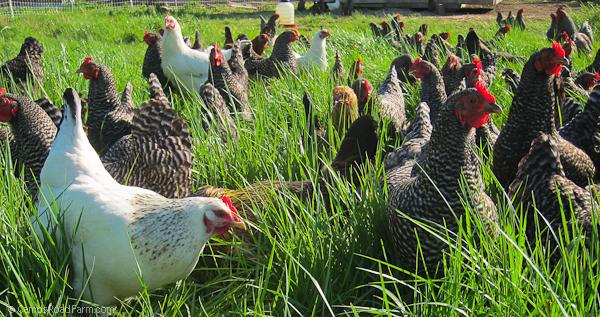 pastured organic eggs