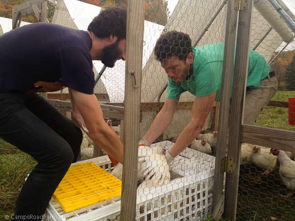 catching chickens