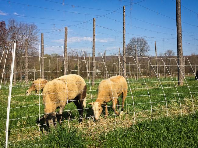 pastured sheep